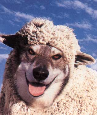 we are the wolf and the sheep